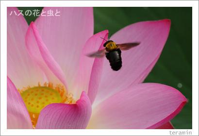 ハスの花と虫と 写真1