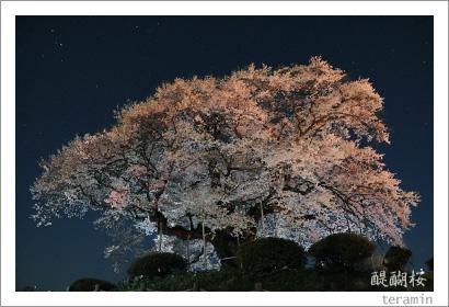 醍醐桜 写真2009_5