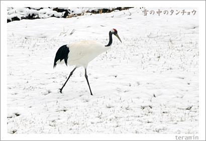 雪の中のタンチョウ1