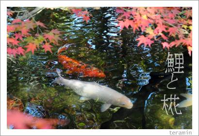 鯉とモミジ(好古園にて) 写真2