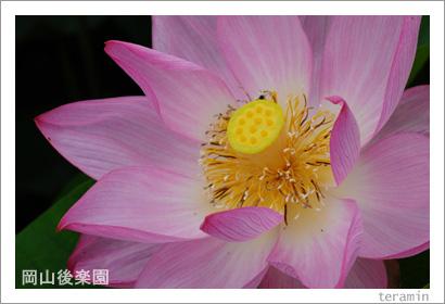 岡山後楽園のハス 写真3