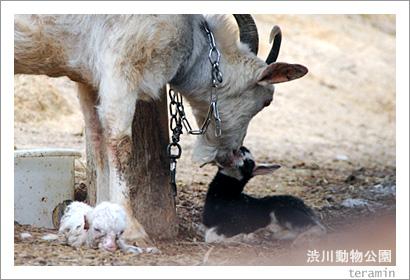 渋川動物公園 山羊の出産2