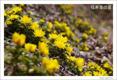 福寿草の里・大豊町南大王 写真1