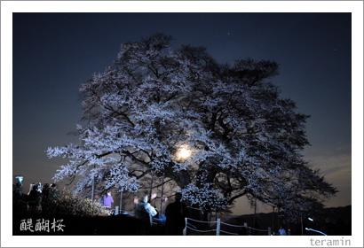 醍醐桜 写真2009_3