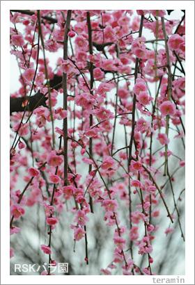 バラ園 梅の写真4