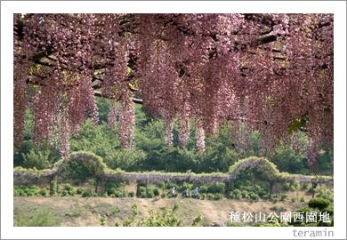 種松山公園西園地の藤棚6