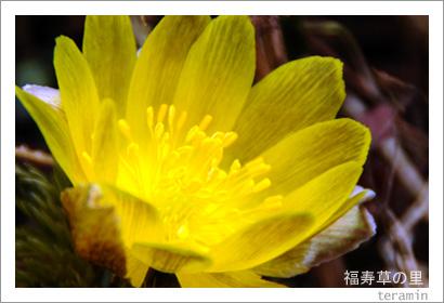 福寿草の里・大豊町南大王 写真4