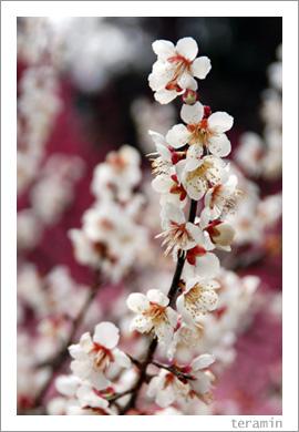 梅の里公園・梅まつり4