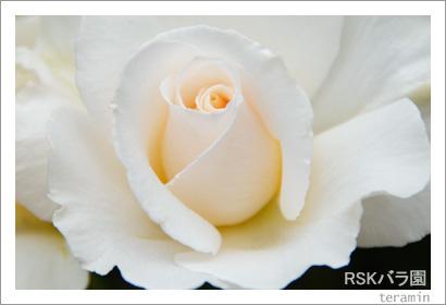RSKバラ園 写真6