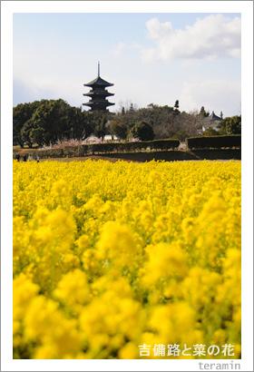 吉備路と菜の花 写真4
