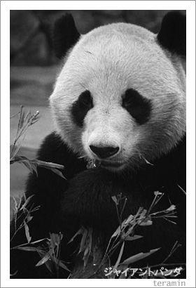 ジャイアントパンダ 写真3