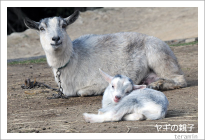 ヤギの親子4 渋川動物公園