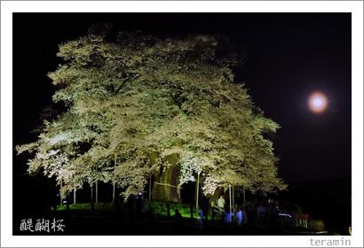 醍醐桜 写真2009_1