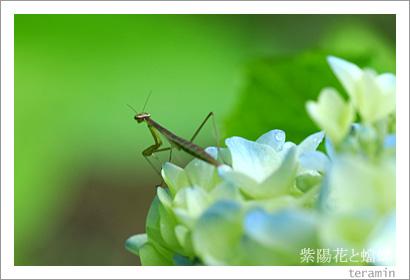 紫陽花と蟷螂2