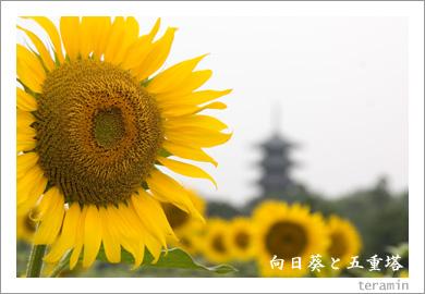 向日葵と五重塔2