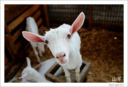 ルーラルカプリ農場のヤギ 写真1