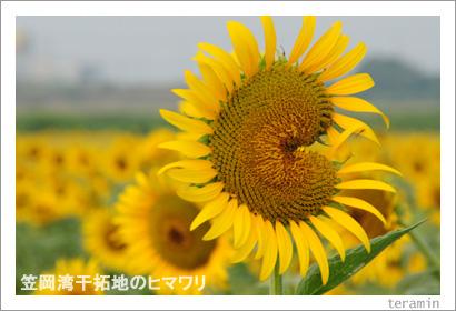 笠岡干拓地のヒマワリ 写真2