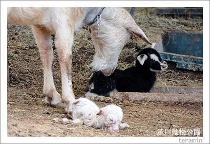 渋川動物公園 山羊の出産3