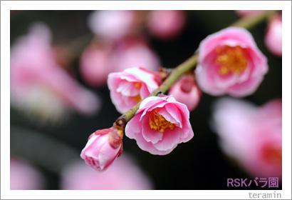 バラ園 梅の写真2