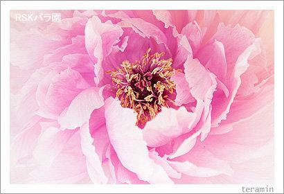 rose_g130309_4