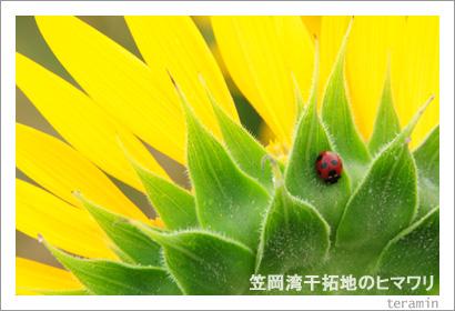 笠岡干拓地のヒマワリ 写真3