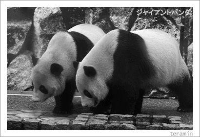 ジャイアントパンダ 写真2