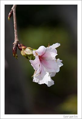 国分寺の桜2