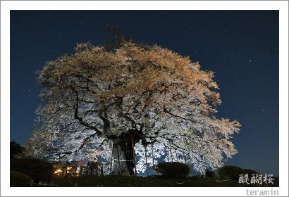 醍醐桜 写真2009_4