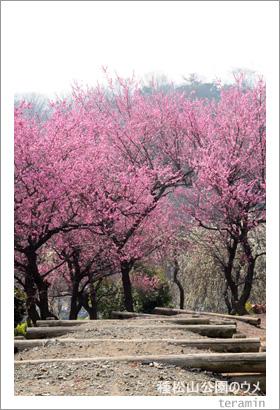 種松山公園のウメ3