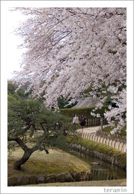 後楽園の春・桜満開1