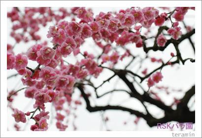 バラ園 梅の写真1