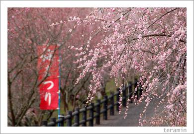 梅の里公園・梅まつり1