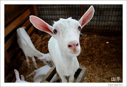 ルーラルカプリ農場のヤギ 写真2