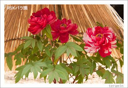 rose_g130309_3