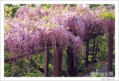 種松山公園の藤棚2