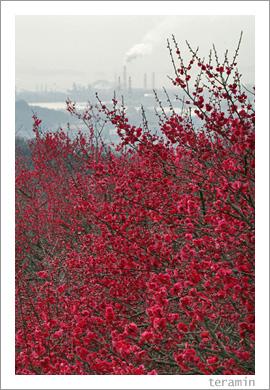 種松山の梅4