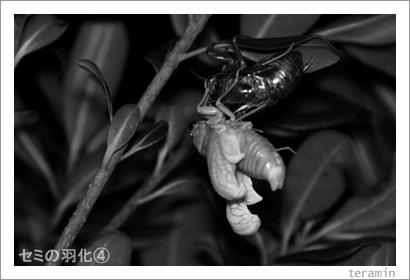 セミの羽化 写真4