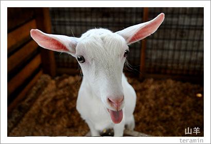 ルーラルカプリ農場のヤギ 写真3