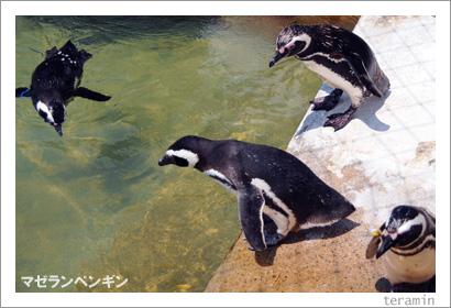 マゼランペンギン2
