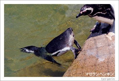 マゼランペンギン3