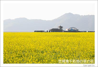 笠岡湾干拓地の菜の花 写真1