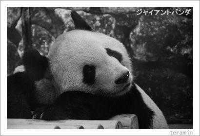 ジャイアントパンダ 写真1