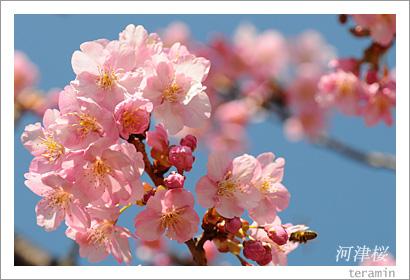 妙林寺の河津桜 写真2