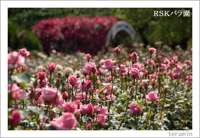 RSKバラ園3