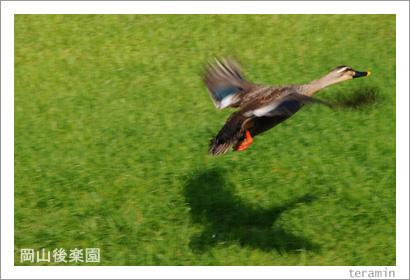 岡山後楽園 カモ 写真