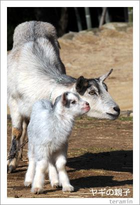 ヤギの親子2 渋川動物公園