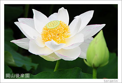 岡山後楽園のハス 写真2