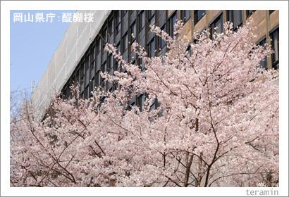 岡山県庁の醍醐桜 写真