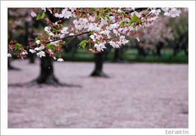 後楽園・桜1