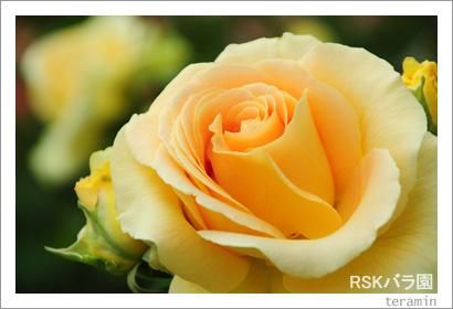 RSKバラ園 写真4